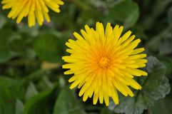 Taraxacum Officinale Yellow Dandelion garden flower closeup. Taraxacum Officinale Yellow Dandelion flower closeup.  Attracts bees and butterflies. Roots have royalty free stock image