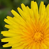 Taraxacum Officinale Yellow Dandelion Petals Macro. Taraxacum Officinale, Yellow Dandelion Petals. Macro. Attracts bees and butterflies. Roots have medicinal royalty free stock photo