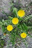 Taraxacum plant from the top stock photography