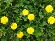 Taraxacum Platycarpum Royalty-vrije Stock Foto's