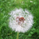 Taraxacum sect. Ruderalia in green. Grass Stock Photo