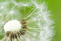 Taraxacum seed head Stock Photography