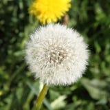 Taraxacum seedhead Stock Images