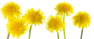 Taraxacum yellow flowers Royalty Free Stock Photo