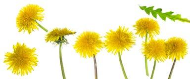 Taraxacum yellow flowers Stock Photography
