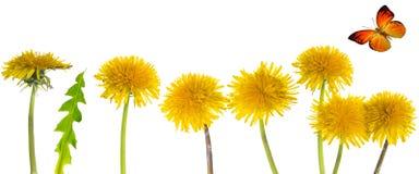 Taraxacum yellow flowers Stock Image