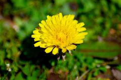 Taraxacumofficinale i blommamaskros Arkivfoto