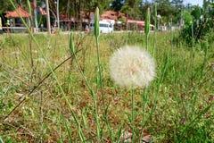 Taraxacumofficinale oder -löwenzahn auf Sommerwiese lizenzfreies stockbild