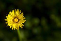 Taraxacumofficinalis, een gele paardebloembloem op groene achtergrond Stock Afbeeldingen