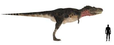 Tarbosaurus Size Comparison Stock Photos