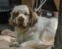 Tarcica spaniela psa traken, spłodzony w UK fotografia royalty free