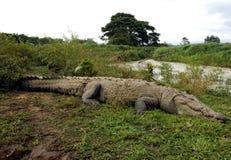 tarcoles för flod för rica för amerikansk costakrokodil enorma fotografering för bildbyråer