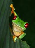 在绿色叶子, tarcoles, puntarenas,肋前缘ri的红眼睛的雨蛙 免版税图库摄影