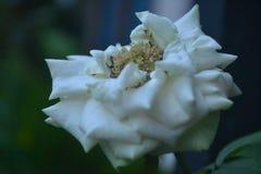 Tarde blanca del panorama de las flores de la belleza fotografía de archivo libre de regalías