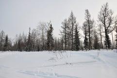 Tarde del invierno y landskape escarchado del norte Árboles desnudos, pinos y nieve blanca imagen de archivo