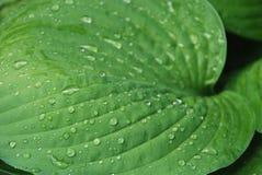 Tarde en el jardín, planta del Hosta en verano Fotografía de archivo