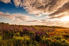 Tarde fantástica con el prado floreciente amapolas en la luz del sol caliente en el crepúsculo Imagen de archivo