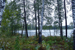 Tarde mojada del otoño, entre abedules en la trayectoria del ciclo del lago Linowo Fotos de archivo