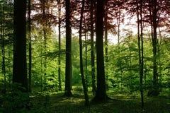 Tarde na floresta sonian Imagens de Stock Royalty Free