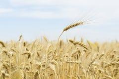 Tarde quente do verão no campo Close-up das orelhas maduras do cereal, para o fundo sazonal Imagem de Stock
