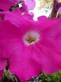 tarde rosada del verano de las plantas de jardín de flores fotos de archivo