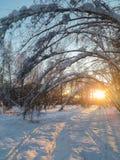 Tarde soleada escarchada del invierno en el campo nevoso Los troncos finos de árboles jovenes están doblados debajo de la cubiert Fotos de archivo libres de regalías