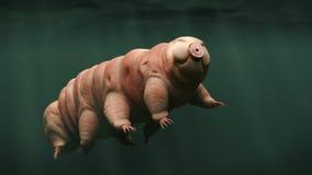 Tardigrade och att simma vattenbjörnen Arkivbild