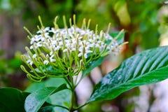 Tarenna wallichii flower Stock Images