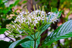 Tarenna wallichii flower Royalty Free Stock Photo