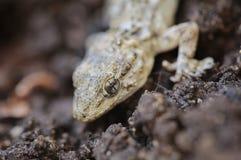 Tarentola mauritanica lizard stock photos