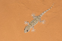Tarentola mauritanica, mediterranean gecko on an orange ceiling Stock Photos