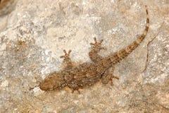 Tarentola mauritanica, Moorish Wall Gecko, lizard from Gargano, Italy. Animal in the habitat, white rock in hot sunny dat. Widlife stock photos