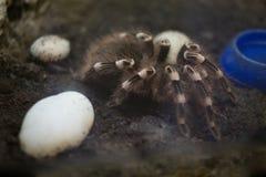 Tarentule prédatrice d'araignée dans une mini-serre de zoo photos stock