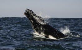 target4148_0_ humpback fotografia royalty free