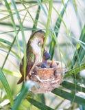 target1652_1_ jej hummingbird matki potomstwa Zdjęcia Stock