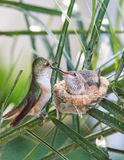 target1652_1_ jej hummingbird matki potomstwa Obrazy Stock