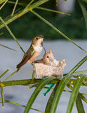 target1652_1_ jej hummingbird matki potomstwa Zdjęcia Royalty Free