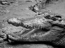 target588_0_ krokodyl kłama borowinowego Nile noonday uśmiechu słońca terror pod waterhole obraz royalty free