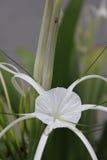 target548_1_ kwiatu odosobniony lelui ścieżki biel Zdjęcie Stock