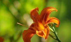 target548_1_ kwiatu odosobniony lelui ścieżki biel Pomarańczowy kwiat Pomarańczowa leluja na zamazanym tle trawa Obraz Royalty Free