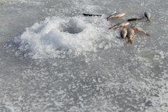 target142_1_ lodowych właśnie kłamstw wychwytany zima zander Fotografia Stock