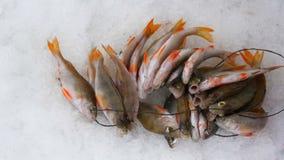 target142_1_ lodowych właśnie kłamstw wychwytany zima zander Ryby złapany lying on the beach w śniegu zdjęcie wideo