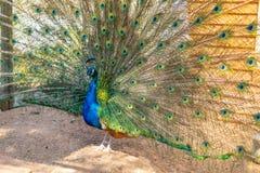 target2188_0_ odciśnięcie żeński paw paw rozprzestrzenia swój ogon w ogródzie paw otwierał jego piękny colourful zdjęcie stock