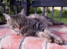 TARGET507_0_ przy kamerę Tabby kot Zdjęcia Stock