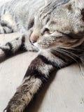 TARGET507_0_ przy kamerę Tabby kot Obraz Royalty Free