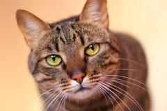 TARGET507_0_ przy kamerę Tabby kot Obraz Stock