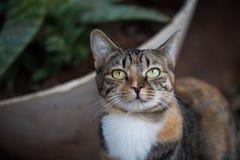 TARGET507_0_ przy kamerę Tabby kot Domowy z włosami kot Zdjęcie Royalty Free