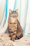 TARGET507_0_ przy kamerę Tabby kot Fotografia Stock