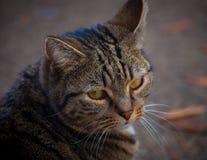 TARGET507_0_ przy kamerę Tabby kot Zdjęcie Stock
