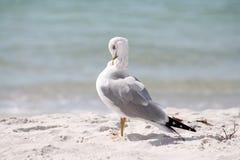 target510_0_ seagull Obraz Stock
